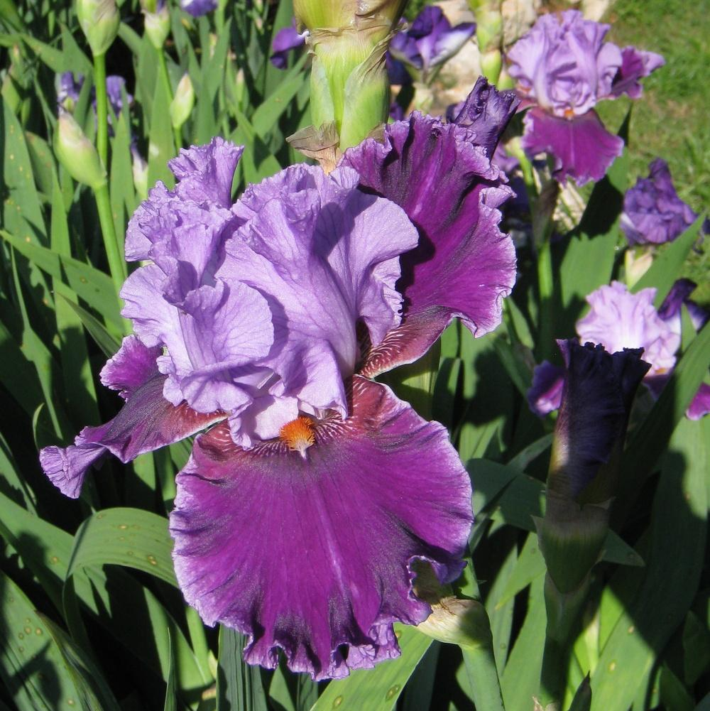 Photo of Tall Bearded Iris (Iris 'About Town') uploaded by Dodecatheon3