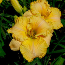 Thumb of 2013-05-13/daylily/b0fd85