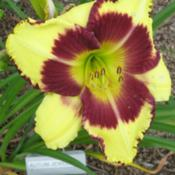 Location: Central MD zone 6Date: 2012-07-09Hemerocallis Autumn Jewels, blooming 7-29-12.