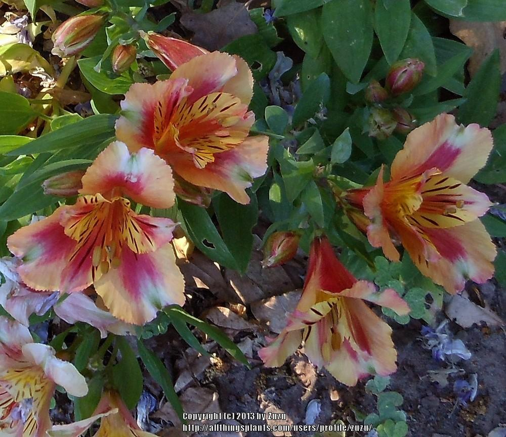 Photo Of The Bloom Of Peruvian Lily Alstroemeria Princess Lilies