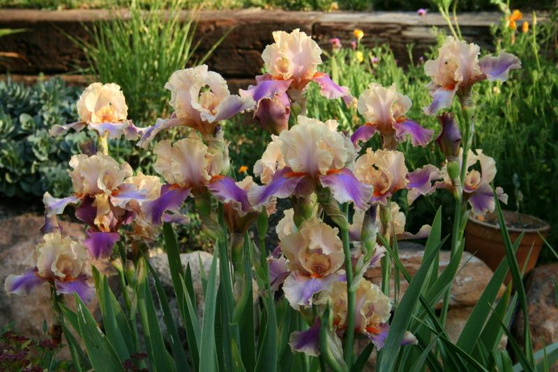 Photo of Tall Bearded Iris (Iris 'Colette Thurillet') uploaded by Calif_Sue