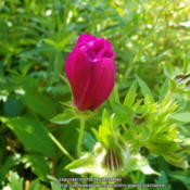 Location: My yard in Arlington, Texas.Date: 2013-05-13Winecup bud looks like a rosebud.