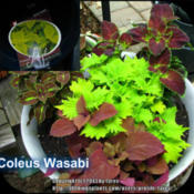 Location: At our garden - San Joaquin County, CADate: 06May2013Coleus 'Wasabi'