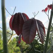 Location: Southwest FloridaDate: May 2013newly emerging leaves are a beautiful shiny maroon colo