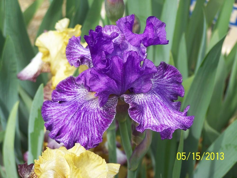 Photo of Tall Bearded Iris (Iris 'Claudia Barton Blair') uploaded by Misawa77