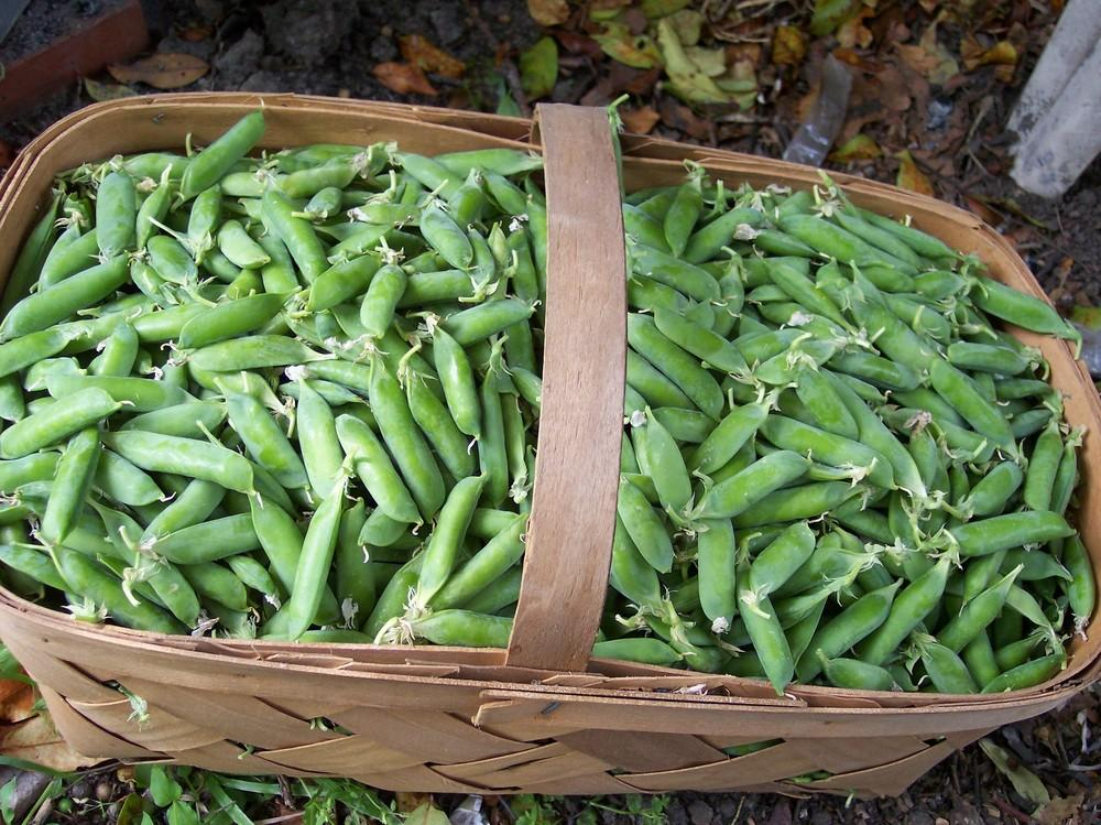 Photo of English Pea (Pisum sativum 'Survivor') uploaded by farmerdill