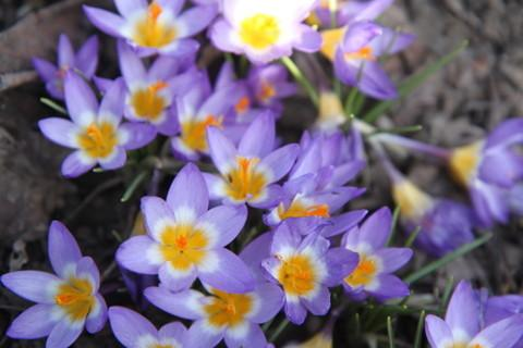 Photo of Crocus uploaded by ninell