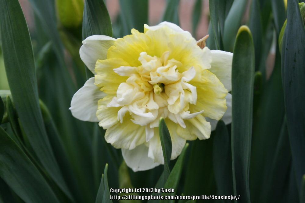 Photo of Double Daffodil (Narcissus 'Ice King') uploaded by 4susiesjoy
