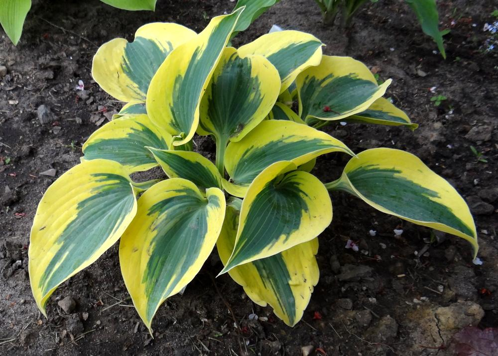 Photo of Hosta 'Autumn Frost' uploaded by Tepelus