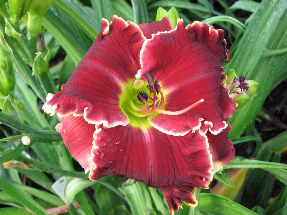 Photo of Daylily (Hemerocallis 'Velvet Throne') uploaded by tink3472