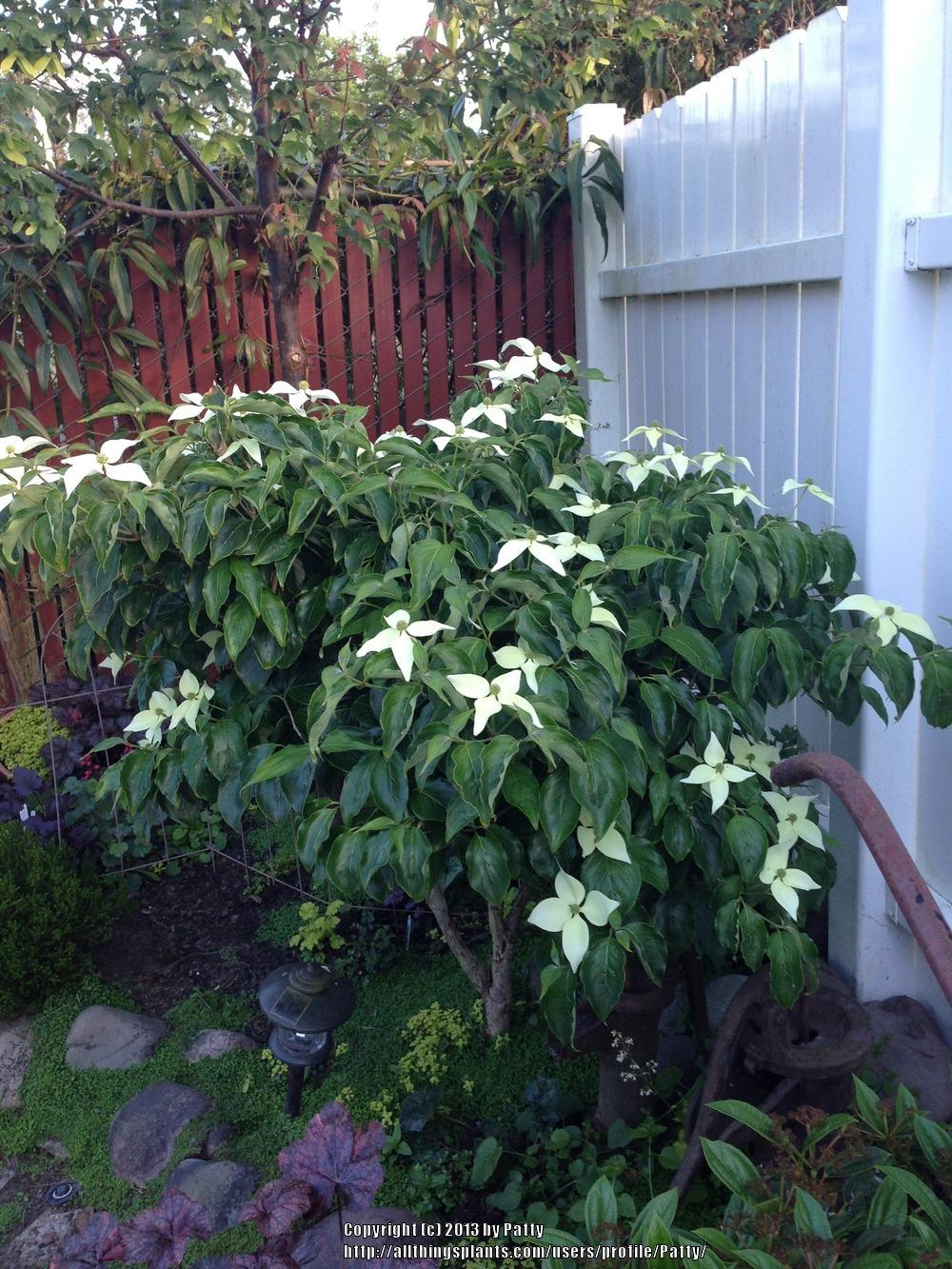 Photo of Chinese Dogwood (Cornus kousa subsp. chinensis 'Milky Way') uploaded by Patty