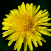 Location: In my garden under aspen treeDate: 22 May 2013 07:13 a.m.The beauty of the common dandelion