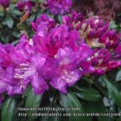 Location: Dutch Plant Farm, Frederick MDDate: 2012-04-22I totally fell in love with the rich, deep purple color of these