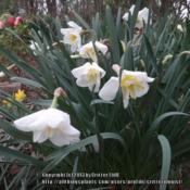Location: Critter's garden in Frederick, MDDate: 2012-03-23Downturned blooms are typical of this variety, at least