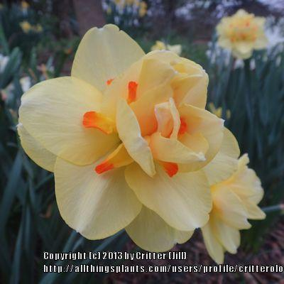 Photo of Double Daffodil (Narcissus 'Tahiti') uploaded by critterologist