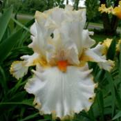 Location: IndianaDate: May 23,2013Stolen Sweets tall bearded iris