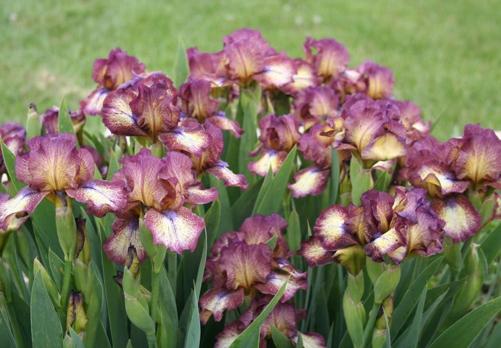 Photo of Intermediate Bearded Iris (Iris 'Hot Fudge') uploaded by KentPfeiffer