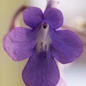 Location: My kitchen window sillDate: 10 February 2013 at 16:35 p.m.Close-up of Cape Violet Flower