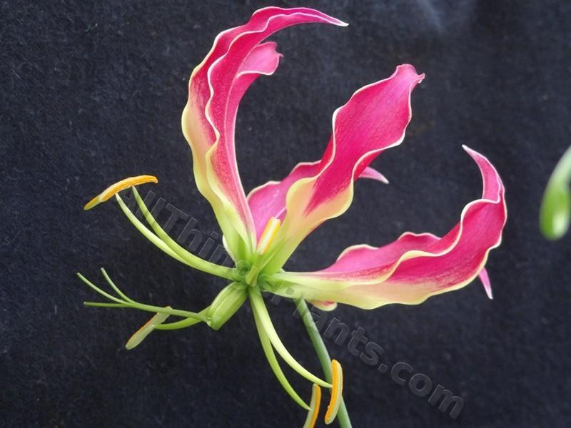 Photo of Gloriosa Lily (Gloriosa superba) uploaded by kaleem