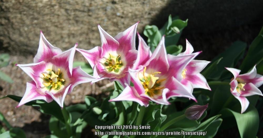 Photo of Lily Flowering Tulip (Tulipa 'Ballade') uploaded by 4susiesjoy