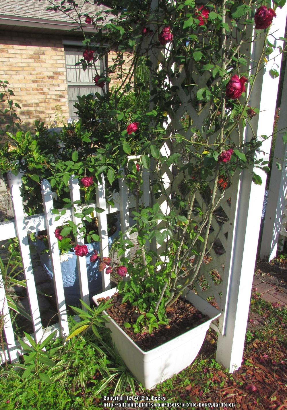 Zephirine Drouhin Climbing Rose training climbing roses: thank you for the ideas on training