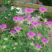 Location: Fort Worth TXDate: may 25, 2013This is my Peter's Purple Monarda