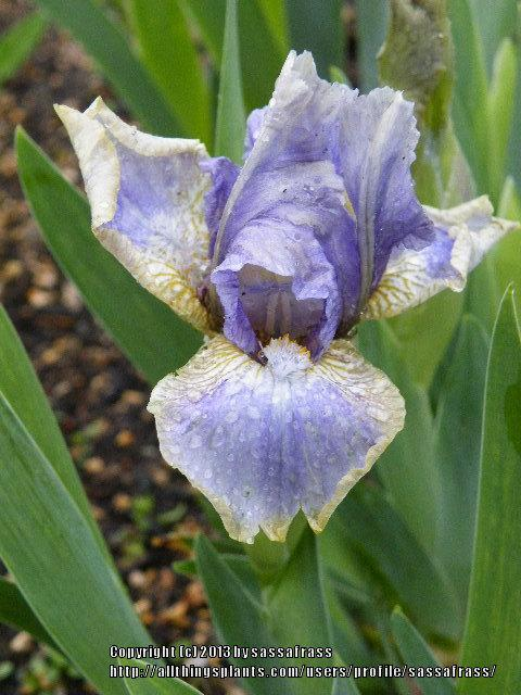 Photo of Standard Dwarf Bearded Iris (Iris 'Summoned Spirit') uploaded by sassafrass