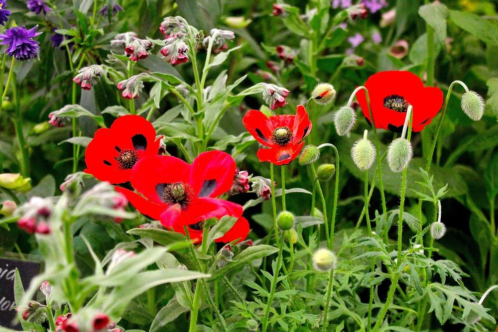 Field poppies the memorial flower the poem and another garden thumb of 2013 05 27neilmuir1d17184 mightylinksfo