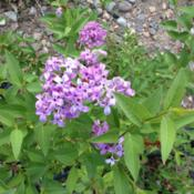 "Location: Denver Metro CODate: 2013-05-28Lilacs bloom only on ""old\"" wood.  This plant has been"