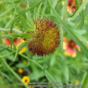 Location: Plano, TXDate: 2013-05-28Developing seed head