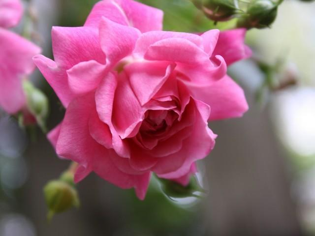 Photo of Roses (Rosa) uploaded by gingin