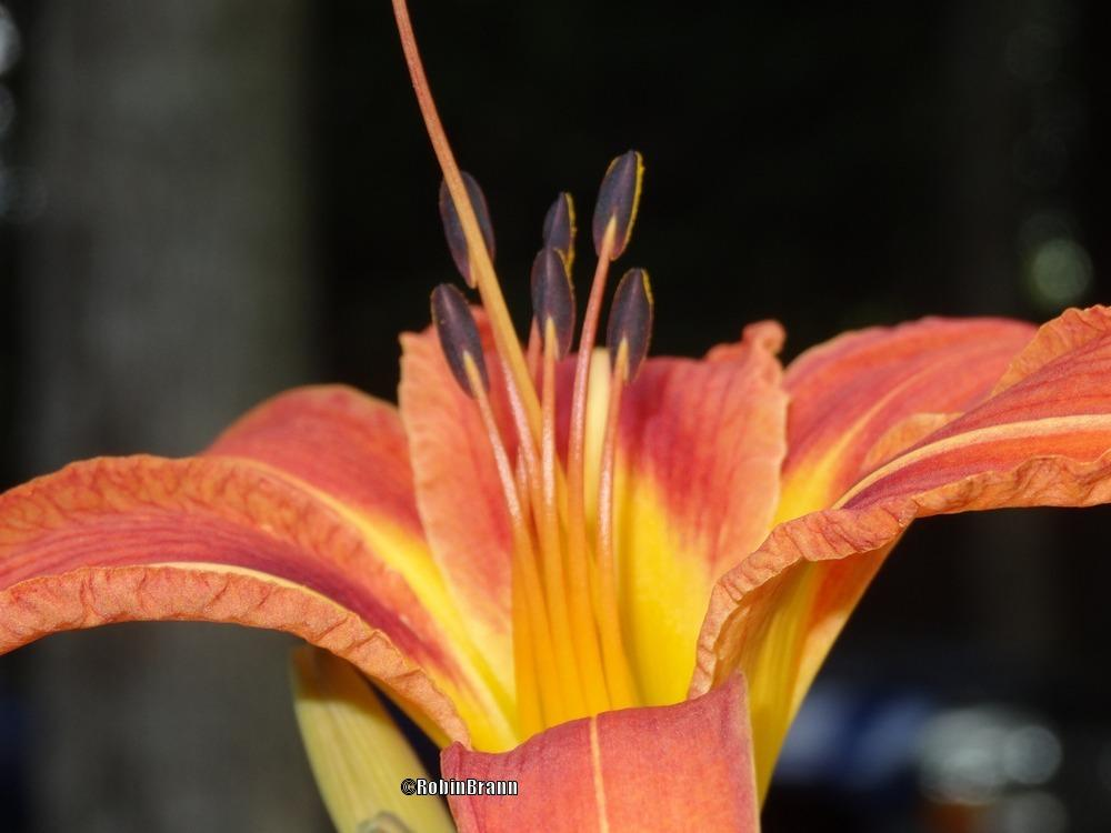 Photo of Daylilies (Hemerocallis) uploaded by arejay59