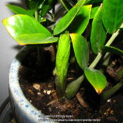 Location: At home - San  Joaquin County, CADate: 2013-05-30New leaf growth on our ZZ plant