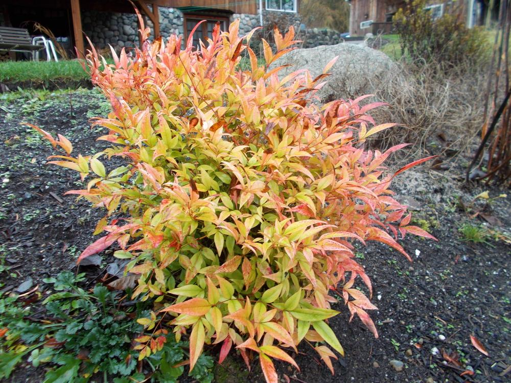 Photo of the entire plant of heavenly bamboo nandina for Plante nandina