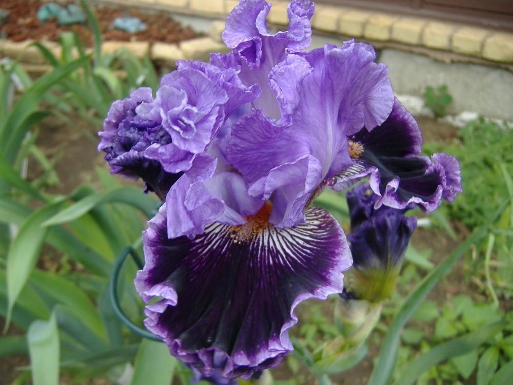 Photo Of The Bloom Of Tall Bearded Iris Iris By Jeeves -4928
