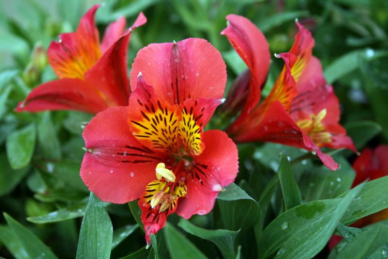 photo of the bloom of peruvian lily alstroemeria princess lilies letizia posted by calif sue. Black Bedroom Furniture Sets. Home Design Ideas