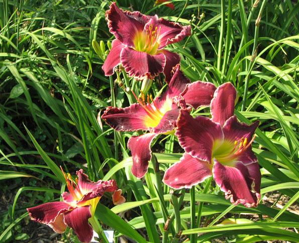 Photo of Daylily (Hemerocallis 'Born to Reign') uploaded by mlt