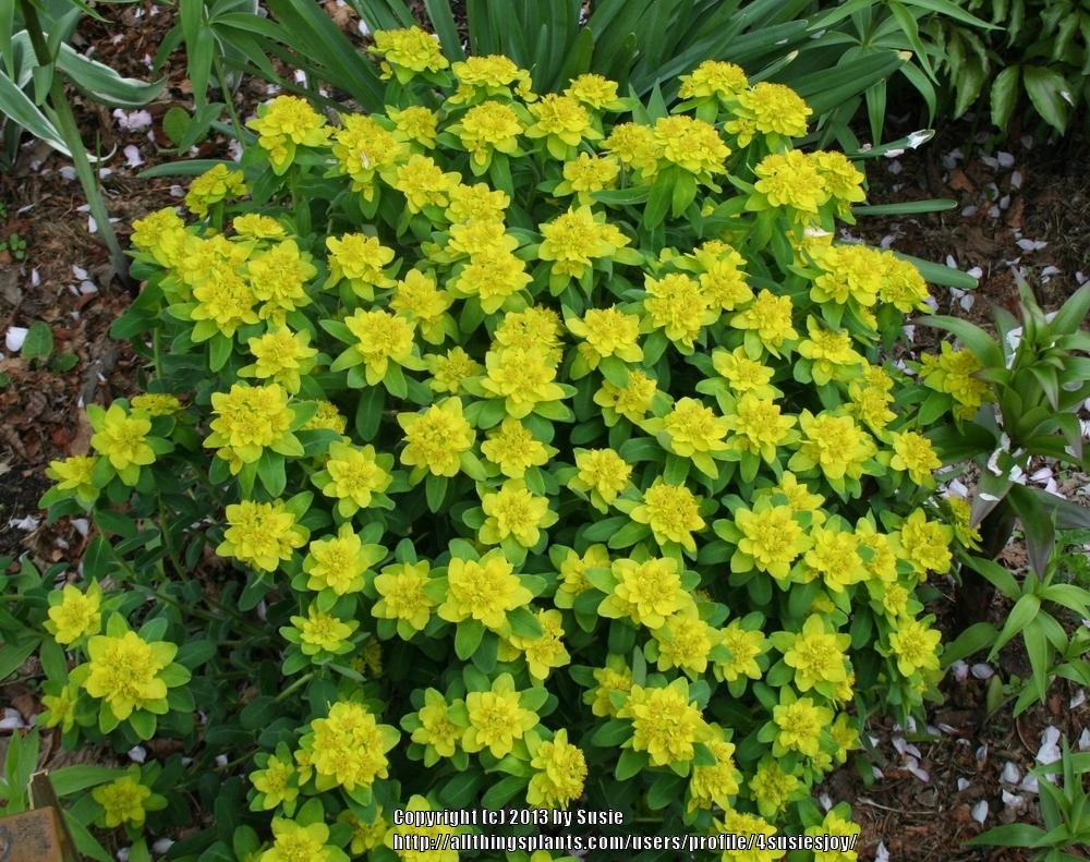 Photo of Cushion Spurge (Euphorbia polychroma) uploaded by 4susiesjoy