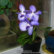 Location: At home - San Joaquin County, CADate: 2013-06-01my newest orchid - Vanda coerulea
