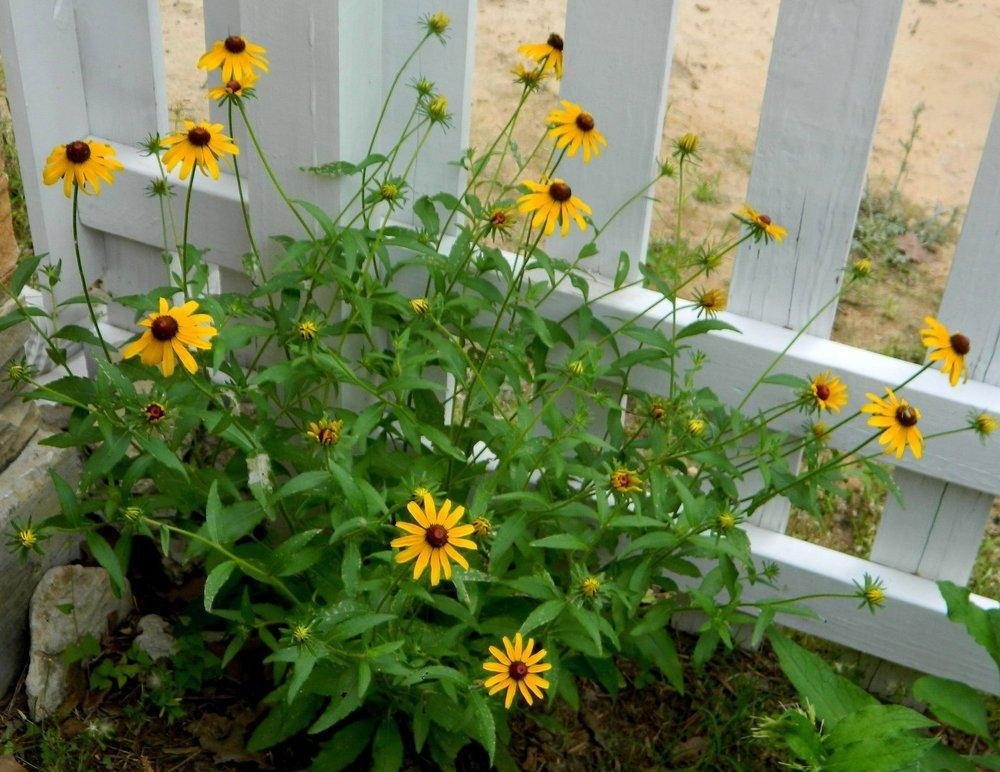Photo of Black Eyed Susans (Rudbeckia) uploaded by wildflowers