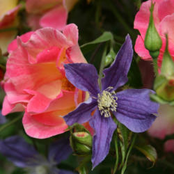 Clematis/Rose Combinations