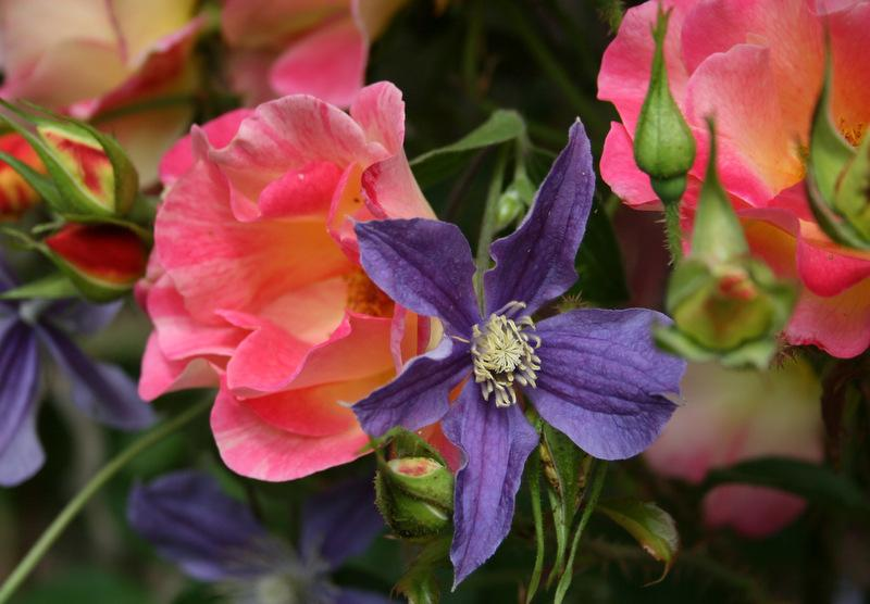 Photo of Clematis 'Arabella' uploaded by Calif_Sue