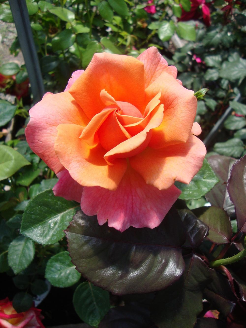 Photo of Rose (Rosa 'Easy Does It') uploaded by Paul2032