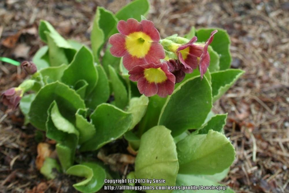 Photo of Bear's Ear (Primula auricula) uploaded by 4susiesjoy