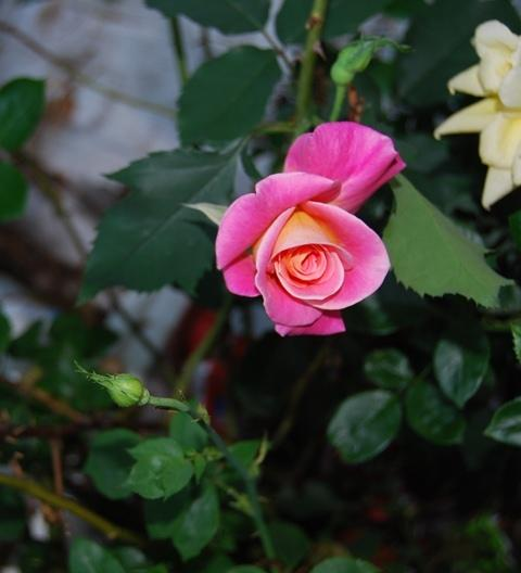 Photo of Rose (Rosa 'Granada') uploaded by Cinta