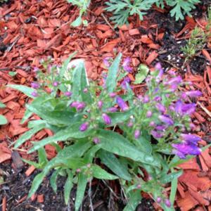A 2nd year penstemon, planted it late last year, survived zone 5