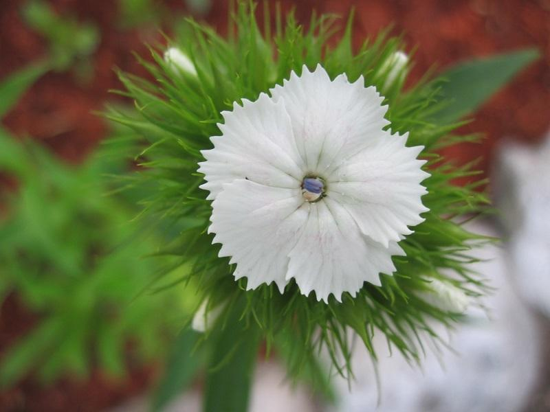 Photo of Sweet William (Dianthus barbatus) uploaded by robertduval14