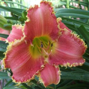 Photo Courtesy of Fred Manning, Daylily Place. Used With Permissi