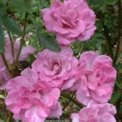Location: In my Northern California gardenDate: 2013-06-05Fading to pink in a 90+ degree heat wave
