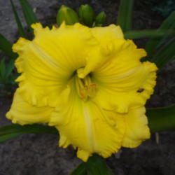 Daylilies forum: ATP Series: The Daylilies of Tim Bell